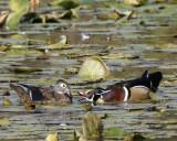 Unhappy Wood Duck Pair