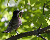 Early morning meal - American Robin