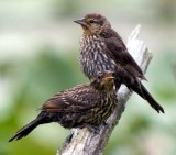 Red-winged Blackbird Adult Female and Juvenile