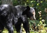 Black Bear of VA
