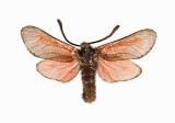 Extinct Moth (Zygaena purpuralis segontii)