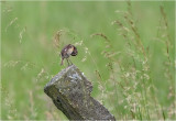 Paapje / Whinchat