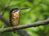 Kingfisher, Common