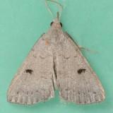 8356 Stone-winged Owlet – Chytolita petrealis