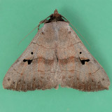 8588 Brown Panopoda - Panopoda carneicosta