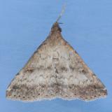 8368  Florida Tetanolita - Tetanolita floridana