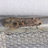 9665  Small Mottled Willow (Beet Armyworm) - Spodoptera exigua