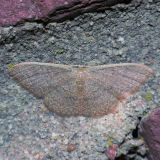 7132 Common Tan Wave - Pleuroprucha insulsaria