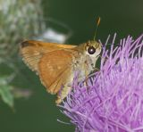 Unidentified Skippers and Butterflies
