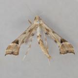 6109  Artichoke Plume - Platyptilia carduidactyla ***