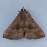 8447  Gray-edged Bomolocha - Hypena madefactalis