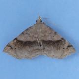 8479  Six-spotted Gray - Spargaloma sexpunctata