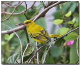 Black-naped Oriole - juvenile