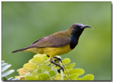 Olive-backed Sunbird - male