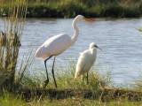 112 Cattle Egret.jpg