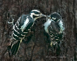 Hairy Woodpeckers- feeding