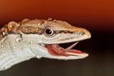 Long Tailed Grass Lizard