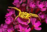 Crab Spider on Buddeleia