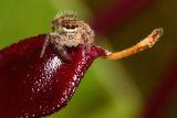 Spider on Hyacinth Bean