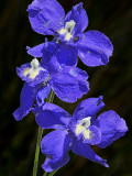 Ranunculaceae: Buttercups, Columbines, Delphiniums, Meadow Rue, Larkspurs