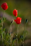 Mak (Papaver L.)