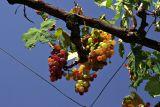 Berati - overhead vines