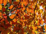 Dogwood Leaves