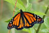 Monarch Polka Dots