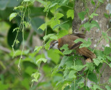 Lesser-necklaced Laughingthrush