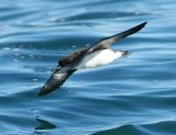 Huttons Shearwater
