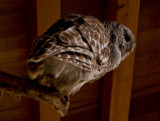 Owl and Rafters.jpg