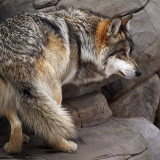 Mexican Grey Wolf on the Rocks
