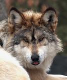 Mexican Grey Wolf Raspberry