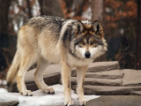 Mexican Grey Wolf, Handsome Guy