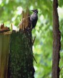 Drieteenspecht / Eurasian Three-toed Woodpecker