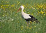 Ooievaar / White Stork