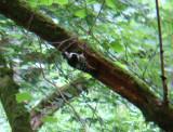Witrugspecht / White-backed Woodpecker