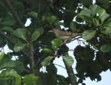 Sperwergrasmus / Barred Warbler