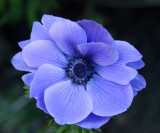 ... the first anemone...