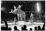 Elephant in the Circus Ring  Circus Merano