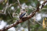 HALCYONIDAE: Halcyonid Kingfishers