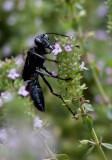 _MG_0041 Blue Mud Wasp