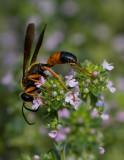 _MG_0060 Orange Black Wasp