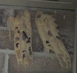 _MG_5403 Organ Pipe Wasp nest