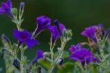 _MG_0099 Petunias at Sundown
