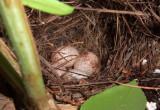 Carolina Wren Eggs