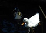 Ducks, Lake Titicaca