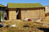 Turkeys wandering around the huts, Uros Islands
