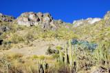 Cactus along the Colca Canyon road