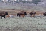 Bison 62